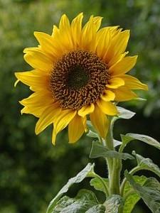 240px-A_sunflower